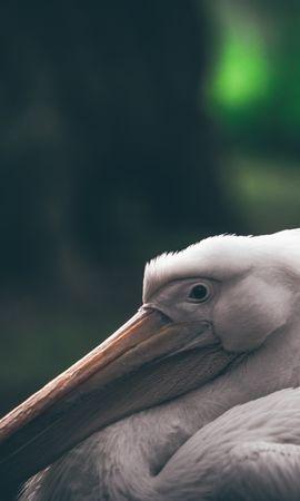 157114 download wallpaper Animals, Pelican, Beak, Bird screensavers and pictures for free