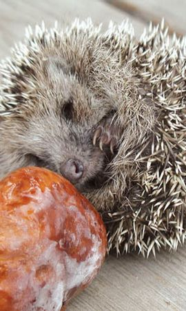 8025 download wallpaper Animals, Hedgehogs, Mashrooms screensavers and pictures for free