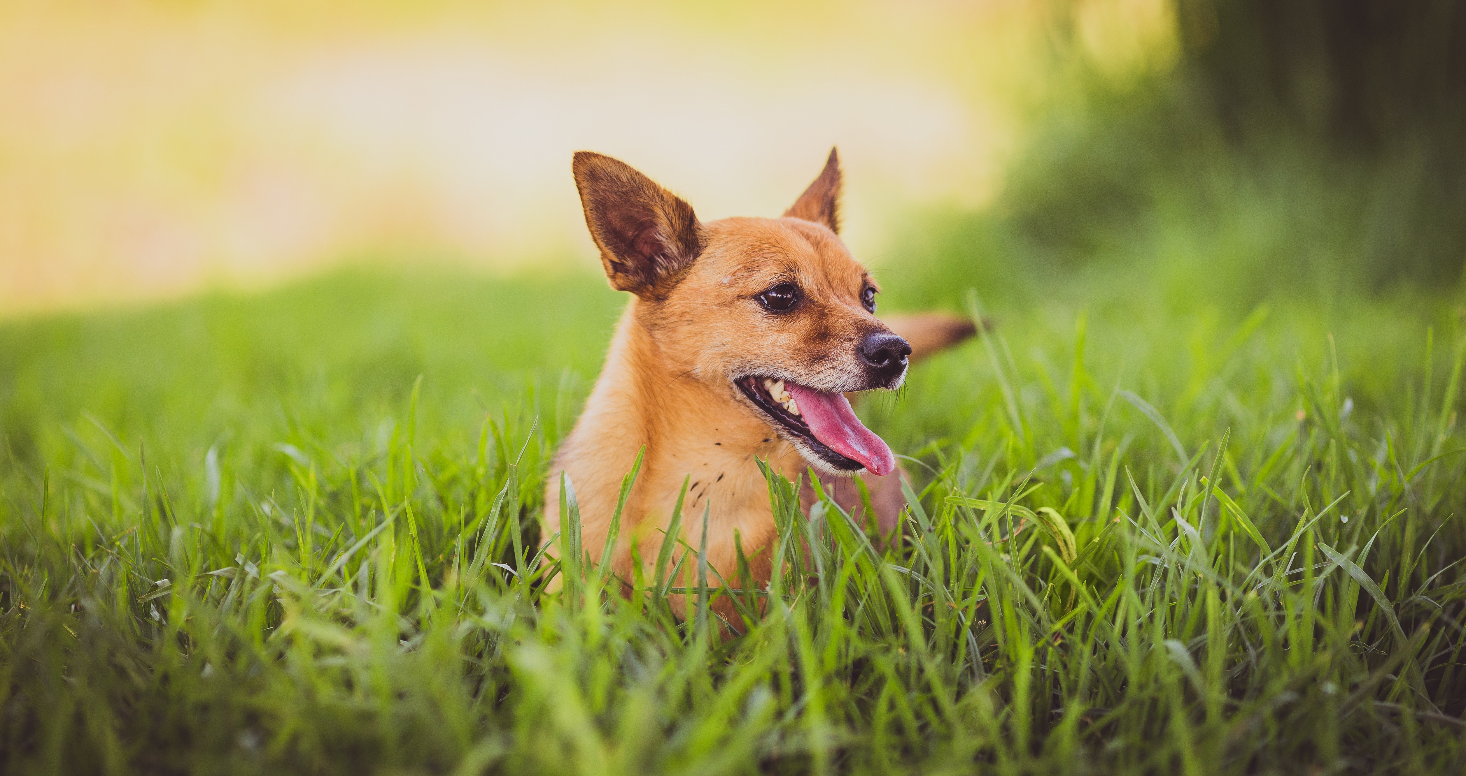 88941 download wallpaper Animals, Dog, Protruding Tongue, Tongue Stuck Out, Grass screensavers and pictures for free