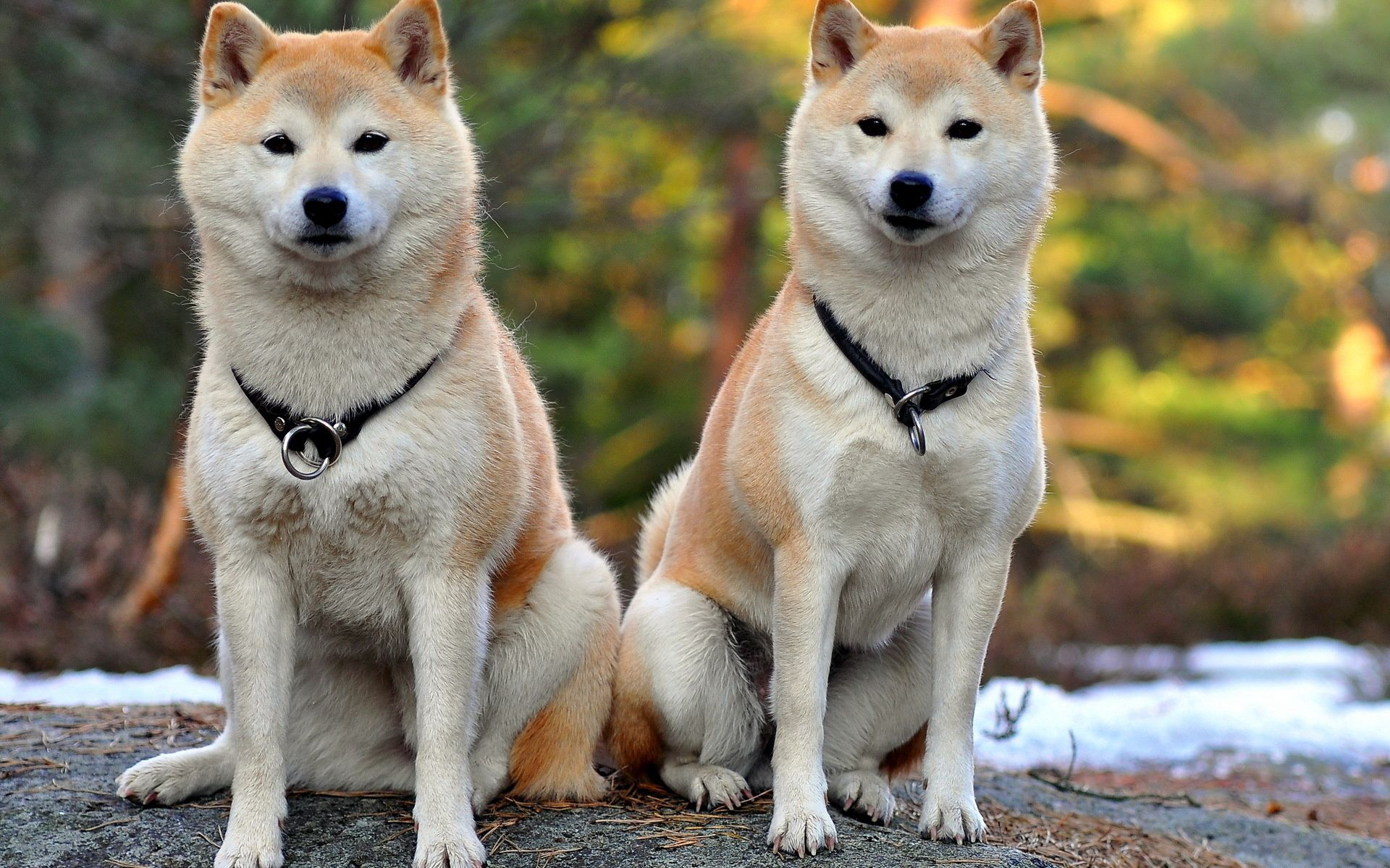 122534 download wallpaper Animals, Akita Inu, Dogs, Couple, Pair, Beautiful screensavers and pictures for free