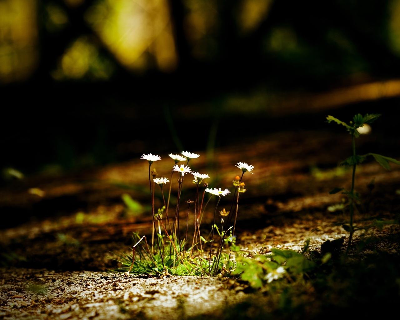 3078 скачать обои Растения, Цветы, Ромашки - заставки и картинки бесплатно