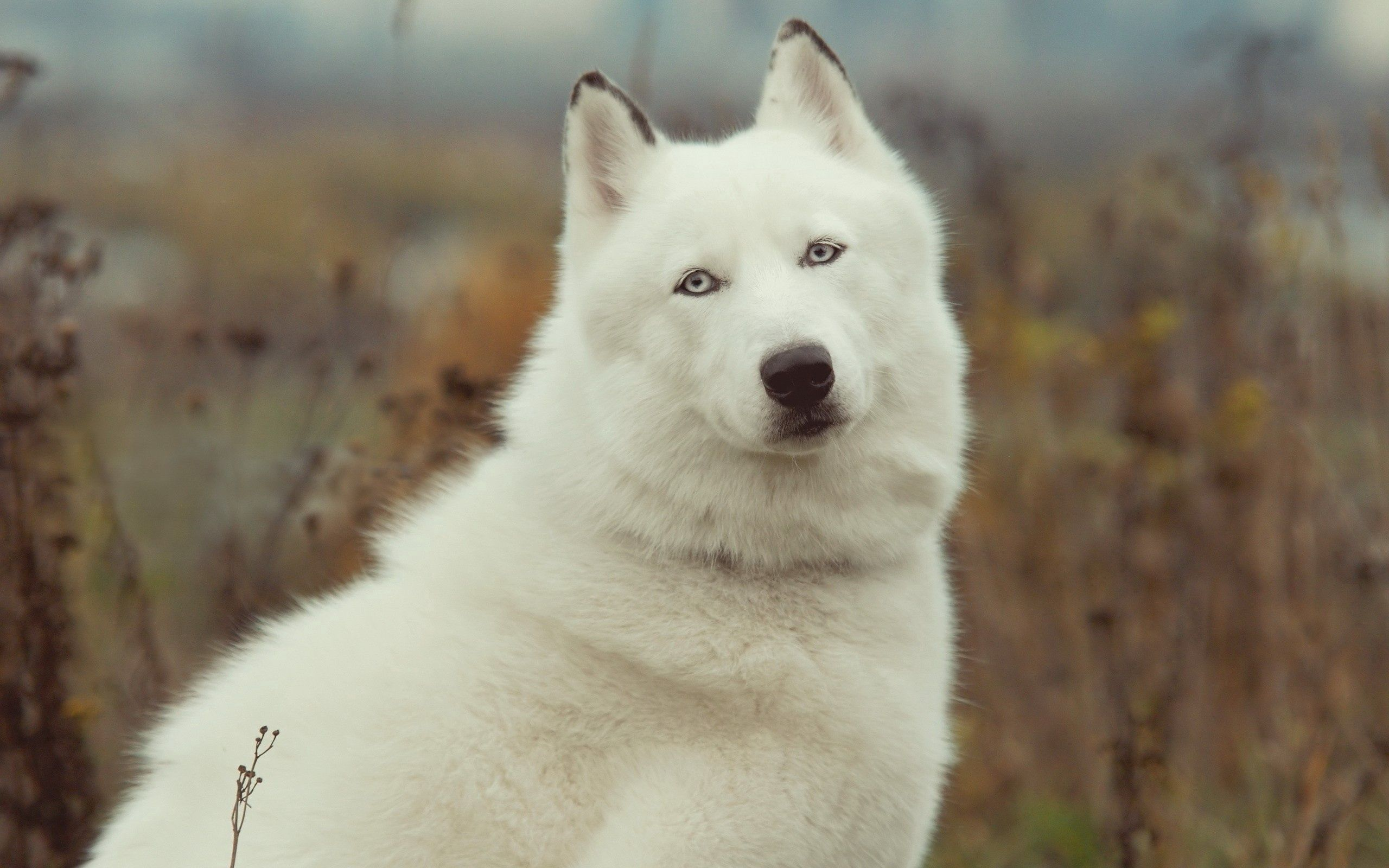 113421 Screensavers and Wallpapers Wool for phone. Download Animals, Grass, Dog, Husky, Haska, Wool pictures for free