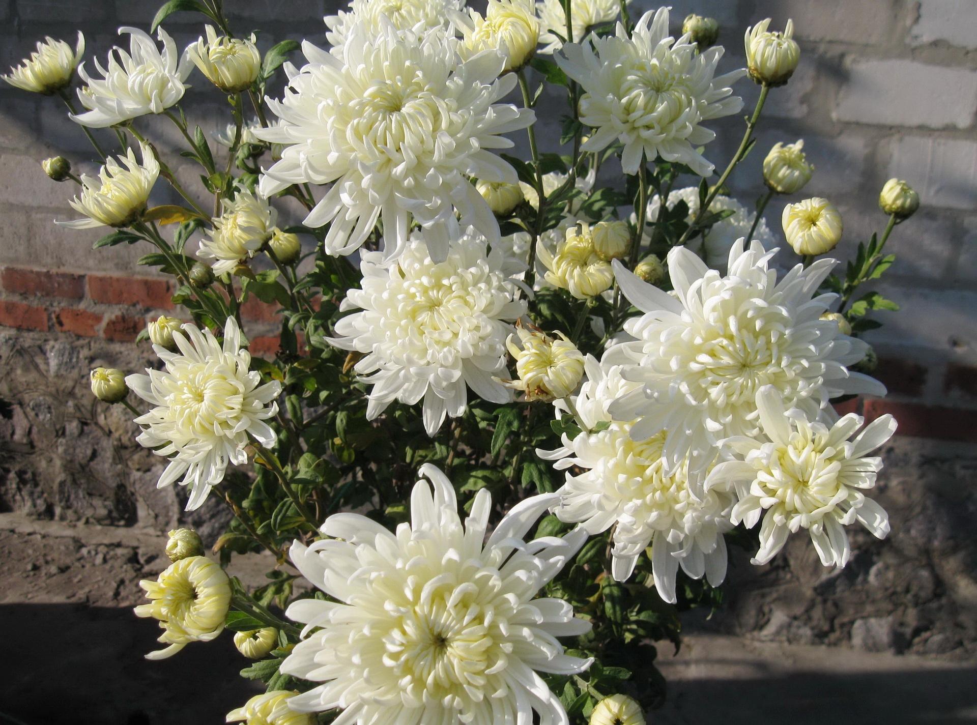 74271 скачать обои Хризантемы, Цветы, Букет, Стена - заставки и картинки бесплатно