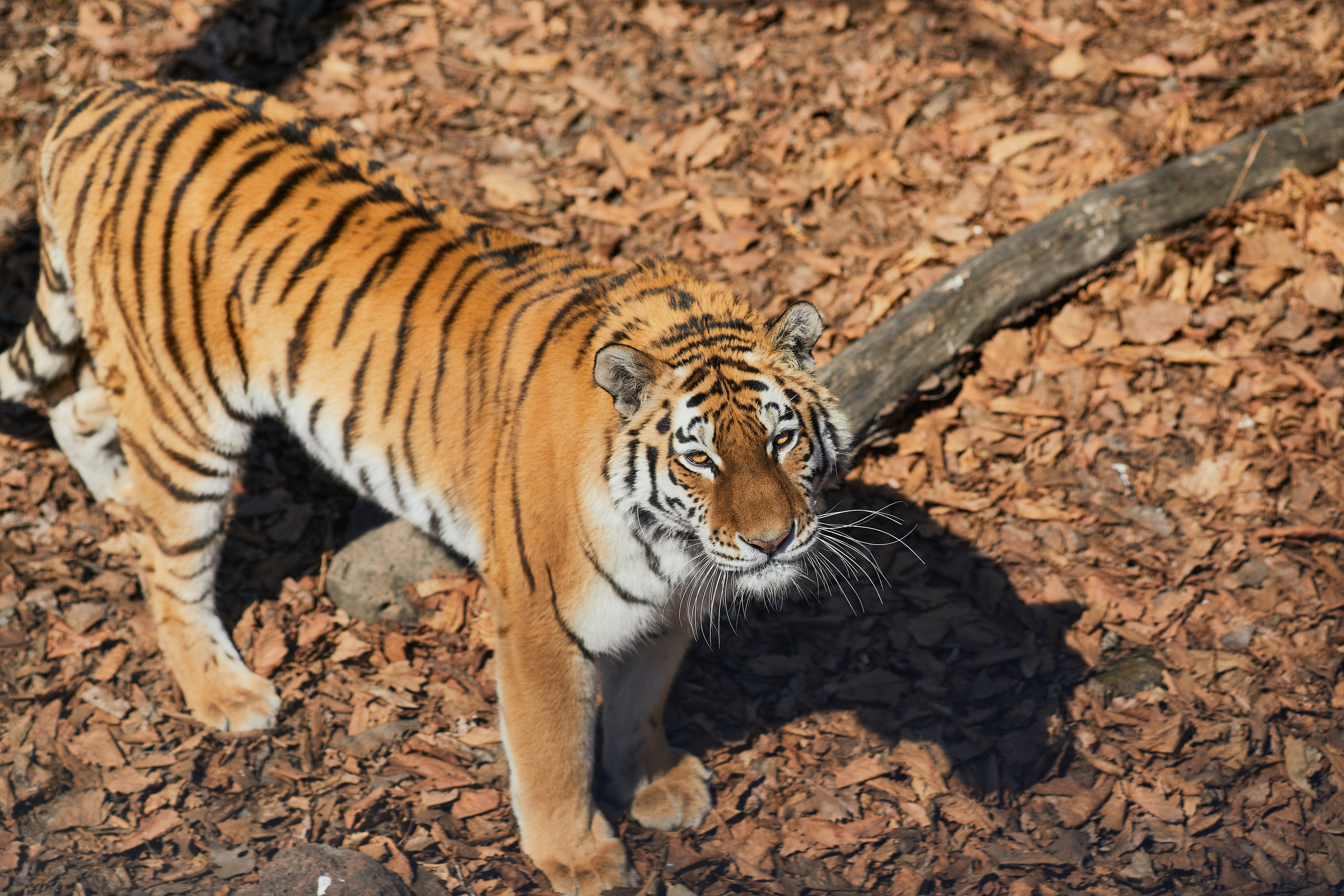 86992 download wallpaper Animals, Tiger, Animal, Predator, Brown, Striped screensavers and pictures for free