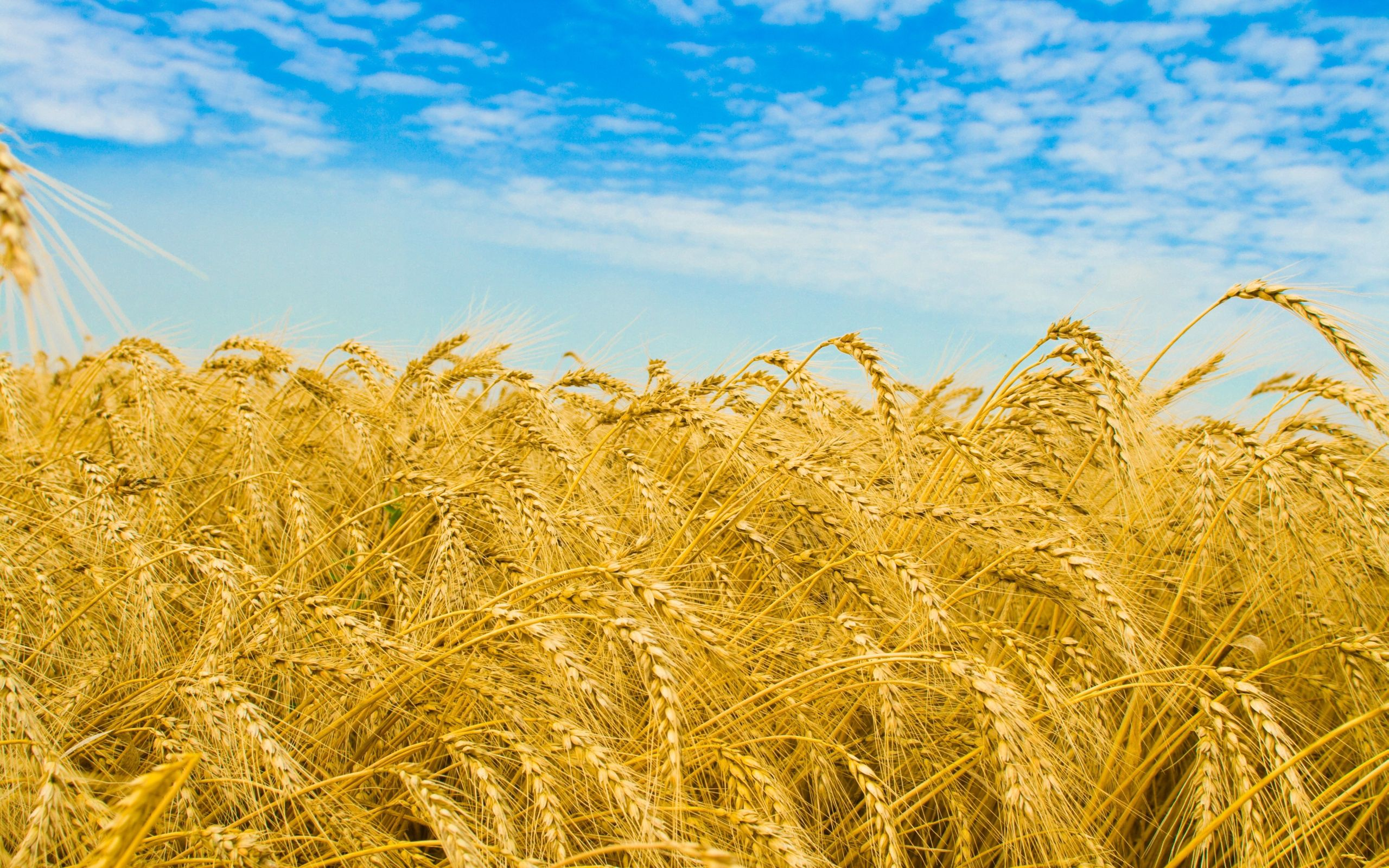 147510 Screensavers and Wallpapers Agriculture for phone. Download Nature, Sky, Field, Ears, Golden, Spikes, Rye, Agriculture pictures for free
