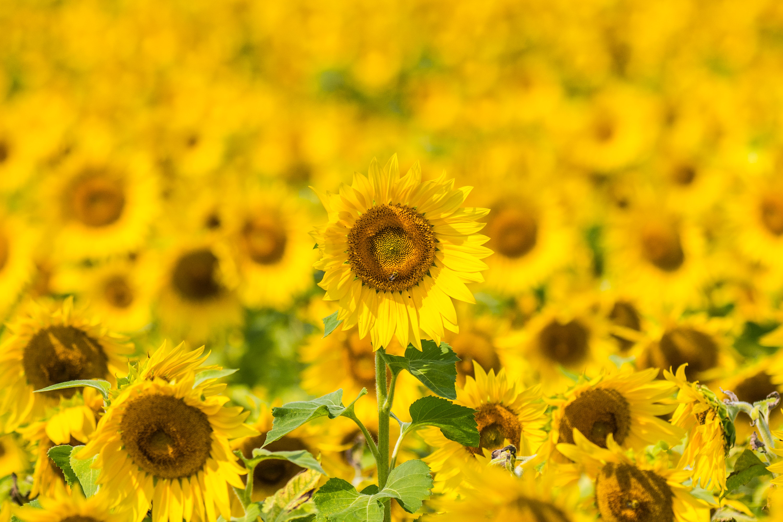75911 Заставки и Обои Подсолнухи на телефон. Скачать Цветы, Желтый, Поле, Цветение, Подсолнухи картинки бесплатно