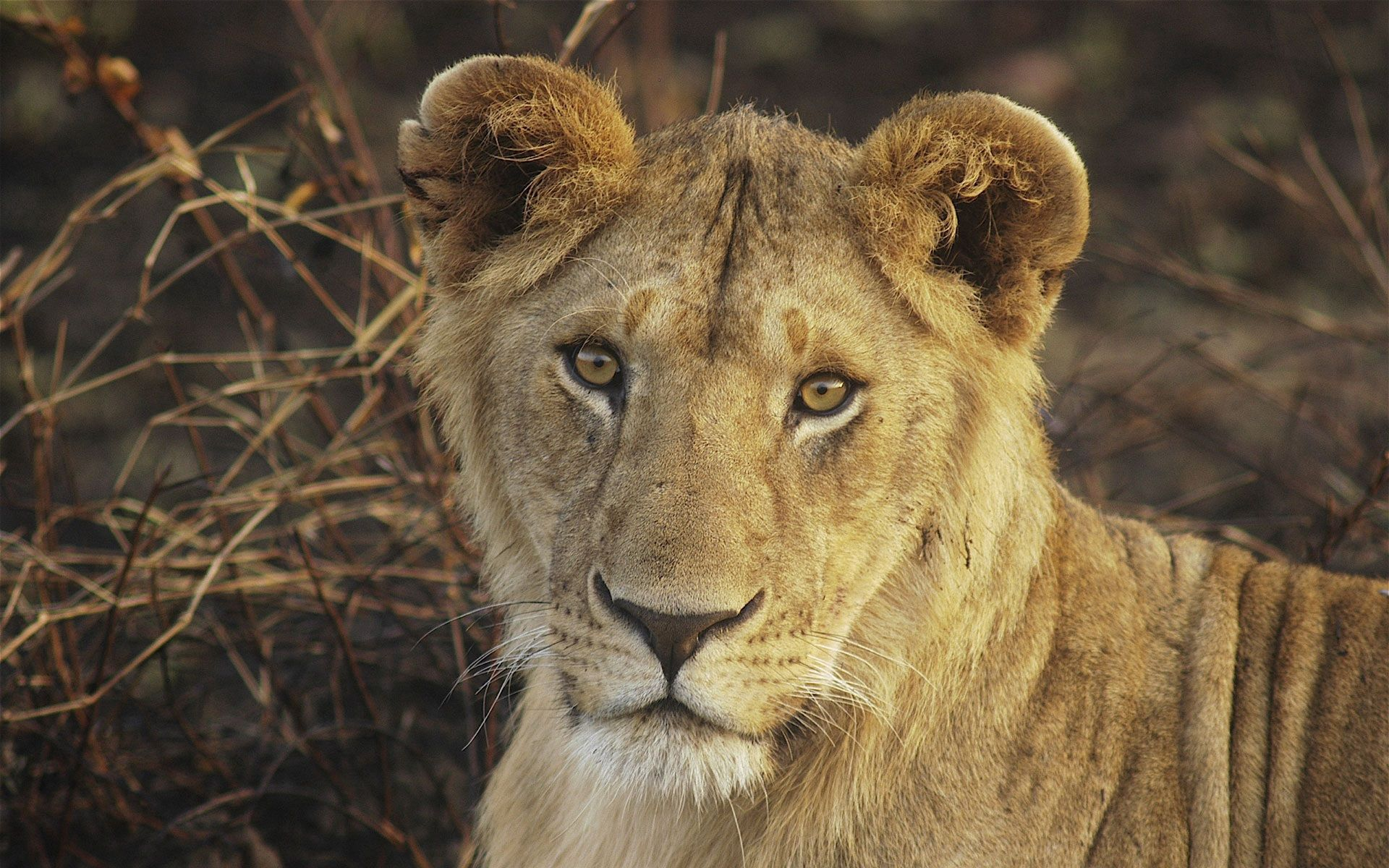 95099 download wallpaper Animals, Lioness, Young, Muzzle, Big Cat, Nice, Sweetheart screensavers and pictures for free