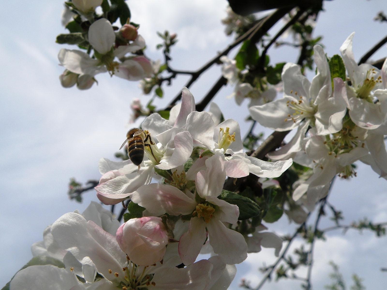 55 Hintergrundbild herunterladen Pflanzen, Blumen, Kirsche, Insekten, Bienen - Bildschirmschoner und Bilder kostenlos