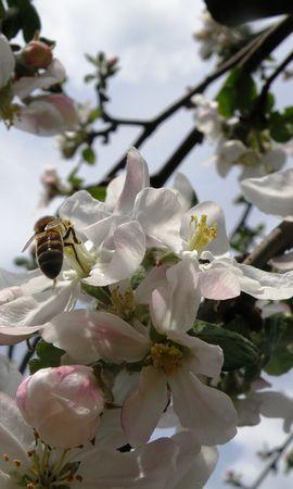 55 скачать обои Растения, Цветы, Насекомые, Вишня, Пчелы - заставки и картинки бесплатно