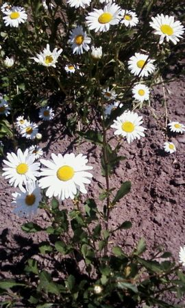 3914 скачать обои Растения, Цветы, Ромашки - заставки и картинки бесплатно