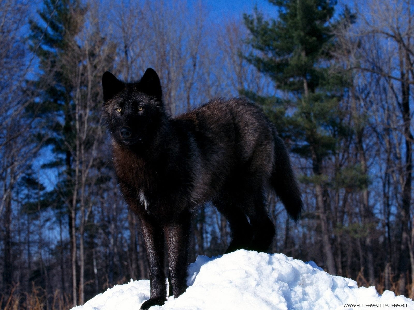 6457 download wallpaper Animals, Wolfs screensavers and pictures for free