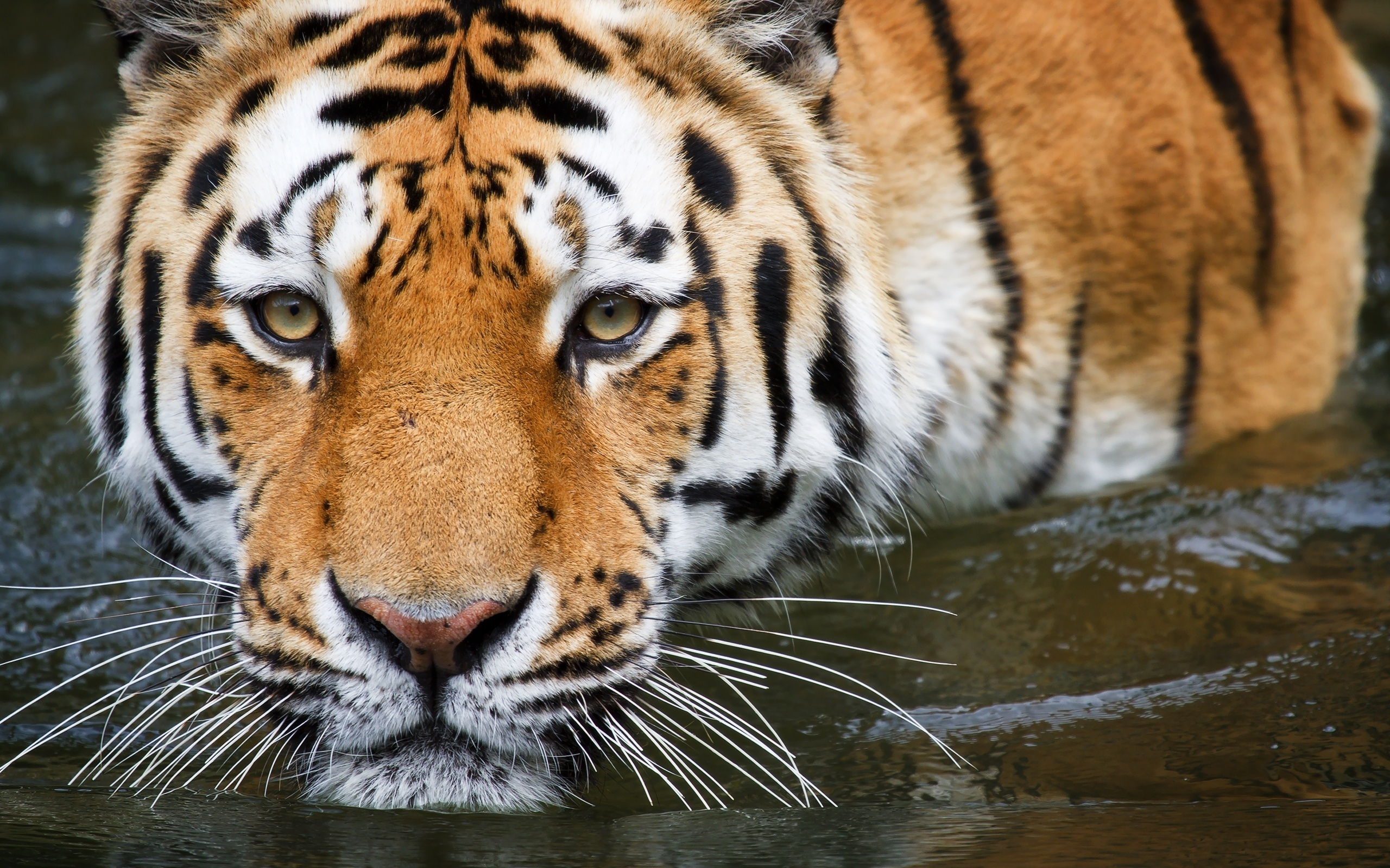 48112 download wallpaper Animals, Tigers screensavers and pictures for free