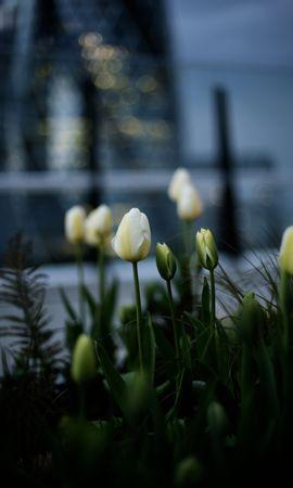 116381 скачать Белые обои на телефон бесплатно, Цветы, Клумба, Бутоны, Тюльпаны Белые картинки и заставки на мобильный