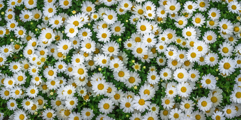 124496 скачать обои Ромашки, Цветы, Клумба, Полевые - заставки и картинки бесплатно