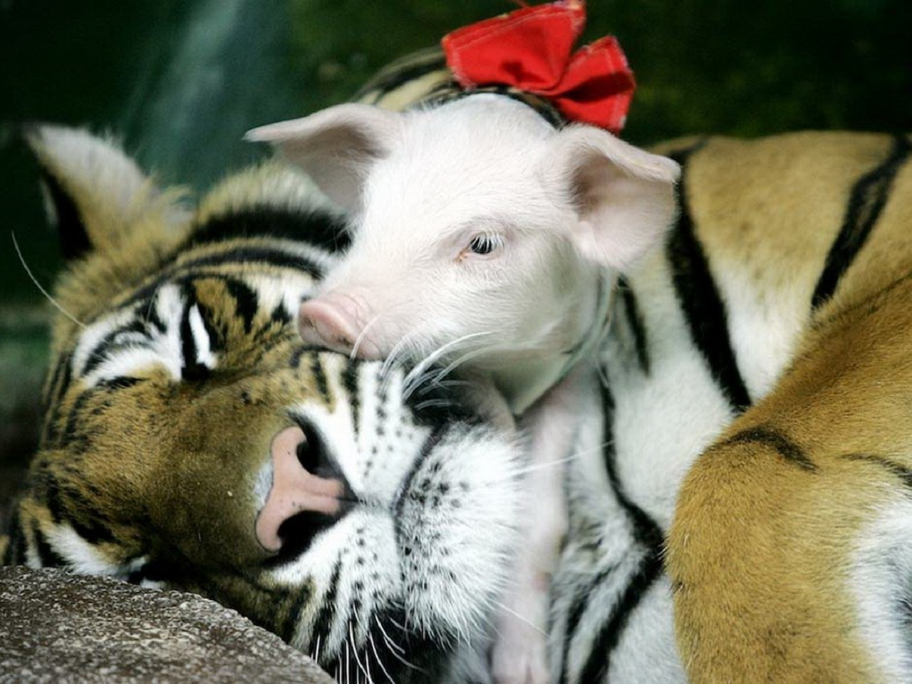 44776 download wallpaper Animals, Tigers, Pigs screensavers and pictures for free