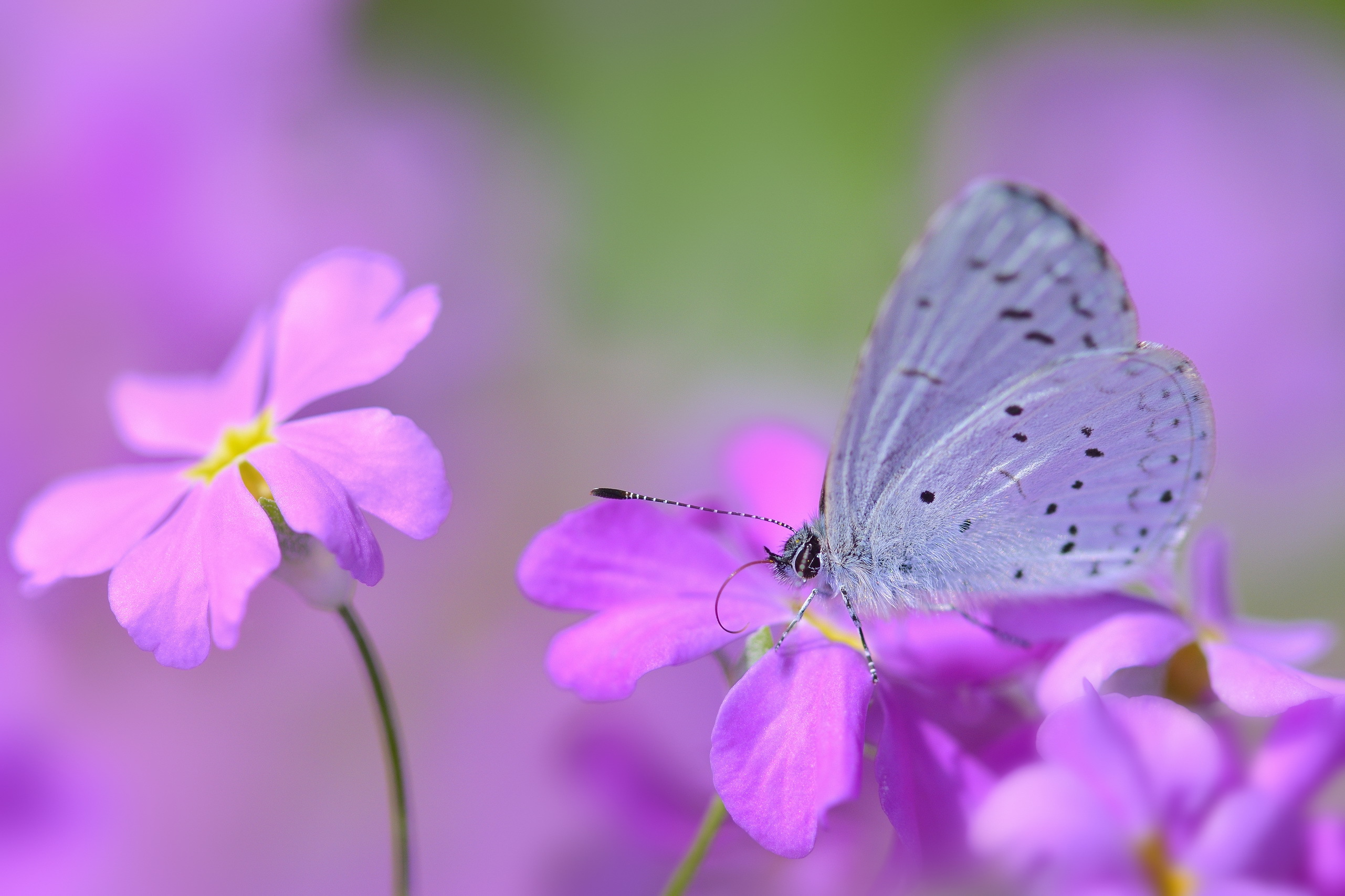 66925 download wallpaper Lilac, Flower, Macro, Petals, Stains, Spots, Butterfly screensavers and pictures for free