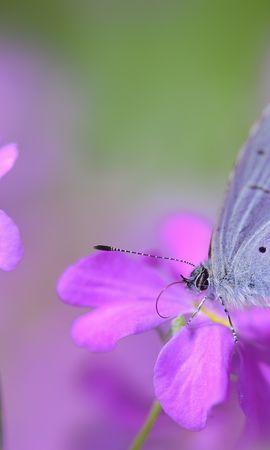 66925 télécharger le fond d'écran Macro, Papillon, Fleur, Pétales, Taches, Lilas - économiseurs d'écran et images gratuitement