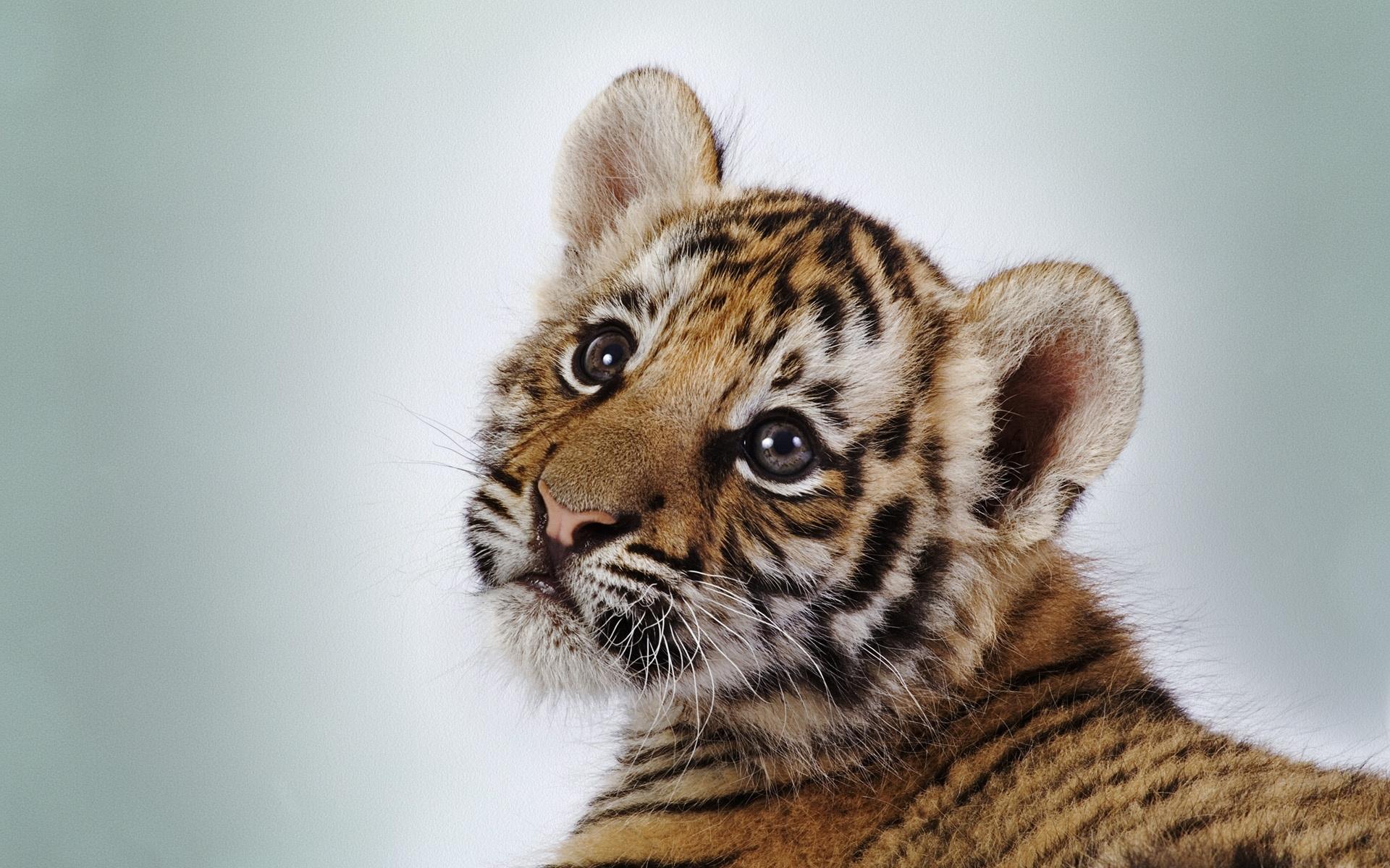36534 descargar fondo de pantalla Animales, Tigres: protectores de pantalla e imágenes gratis