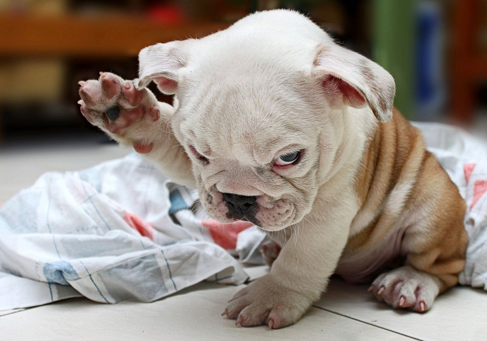 105908 Screensavers and Wallpapers Puppy for phone. Download Puppy, Animals, Dog, Nice, Sweetheart, Folds, Pleating, Bulldog, Rag pictures for free