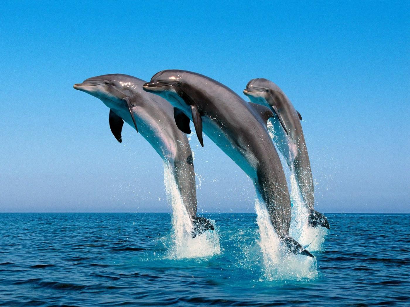 34389 Hintergrundbild herunterladen Delfine, Tiere - Bildschirmschoner und Bilder kostenlos