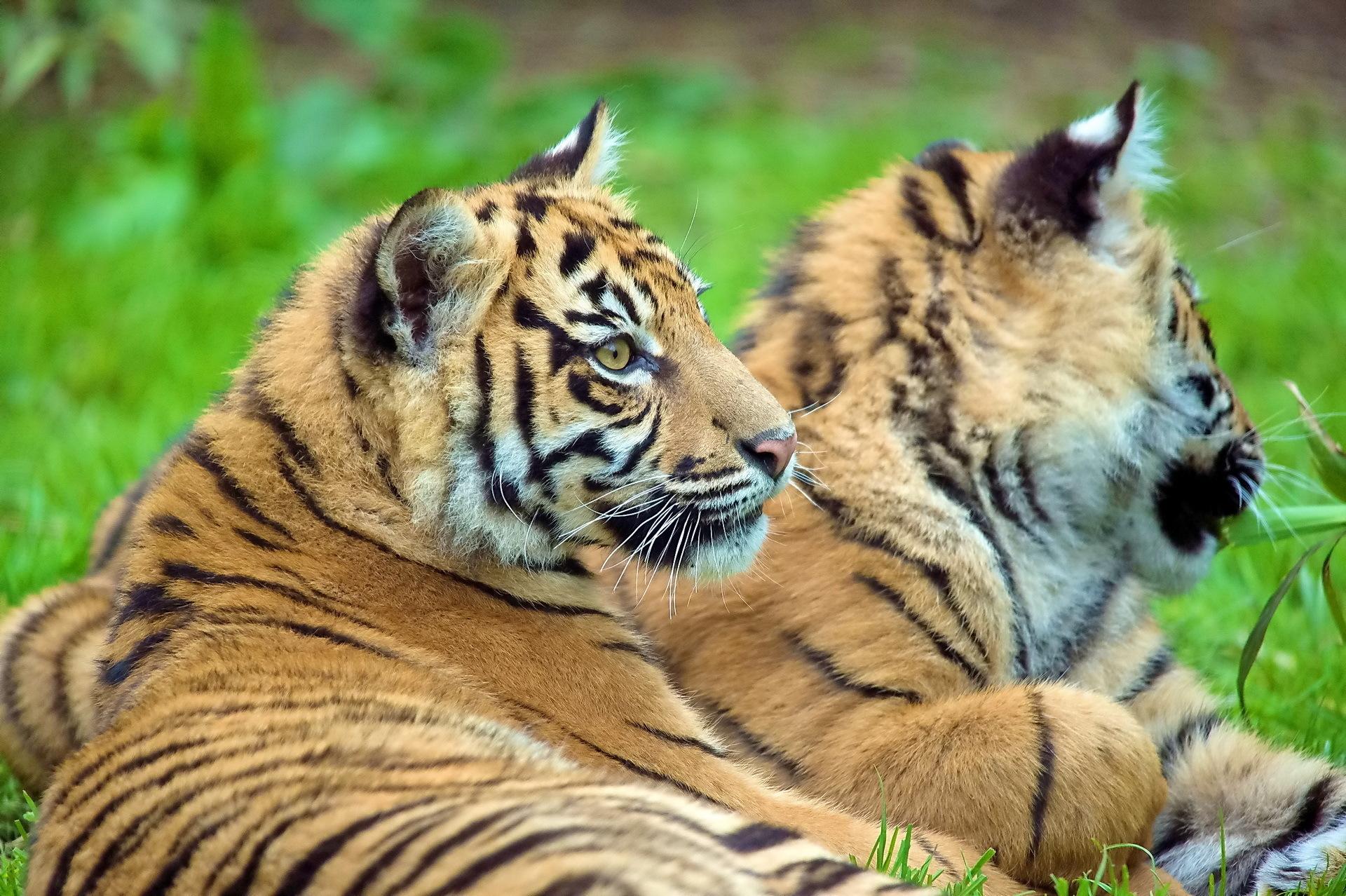 116099壁紙のダウンロード動物, カップル, 双, カブス, 若い, 横になります, 嘘, 阪神タイガース-スクリーンセーバーと写真を無料で