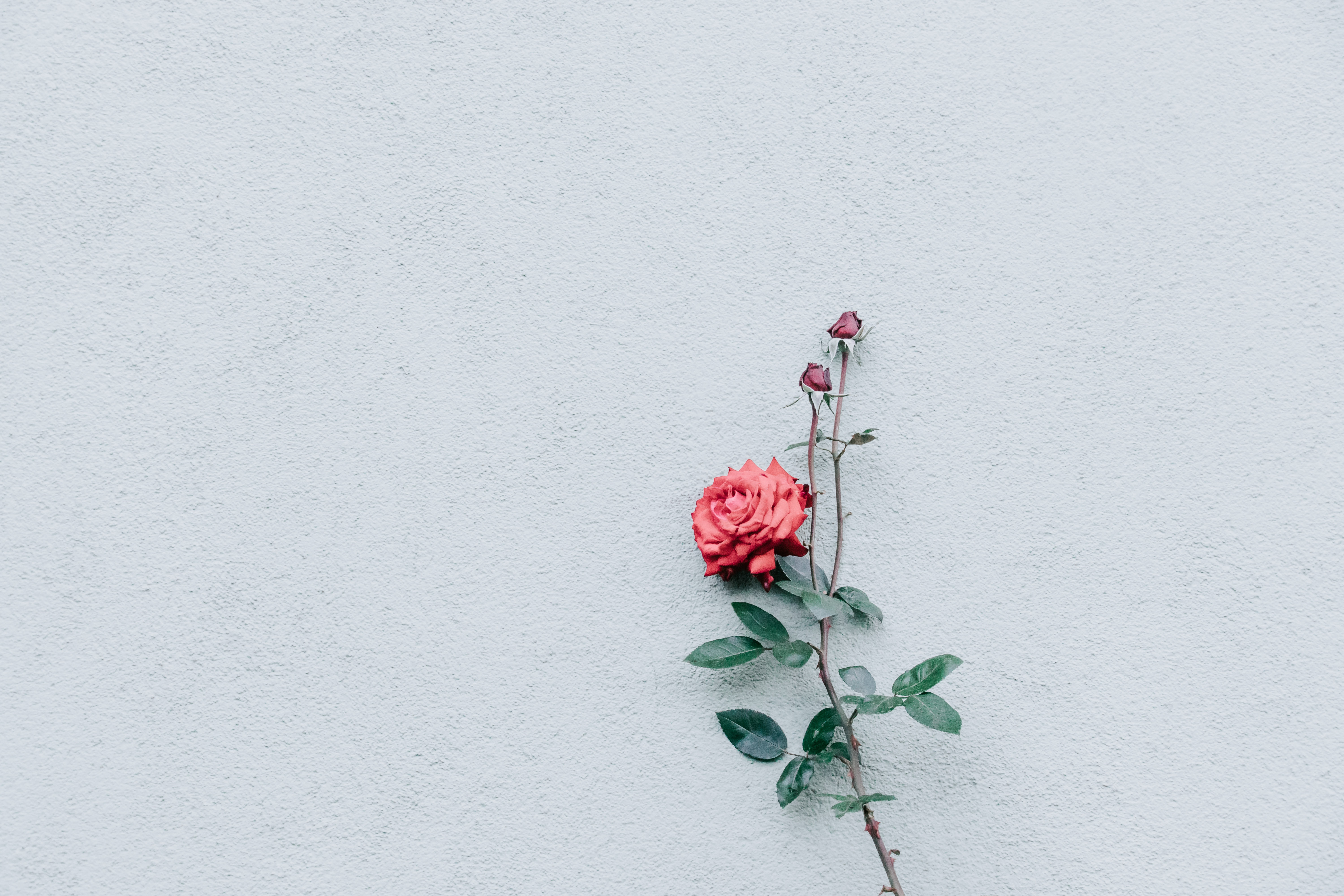 107502 Screensavers and Wallpapers Wall for phone. Download Bush, Rose Flower, Rose, Bud, Minimalism, Branch, Wall pictures for free