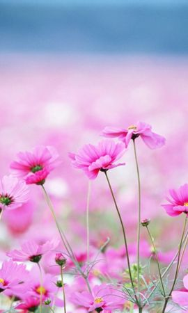 1763 descargar fondo de pantalla Plantas, Flores, Violeta: protectores de pantalla e imágenes gratis