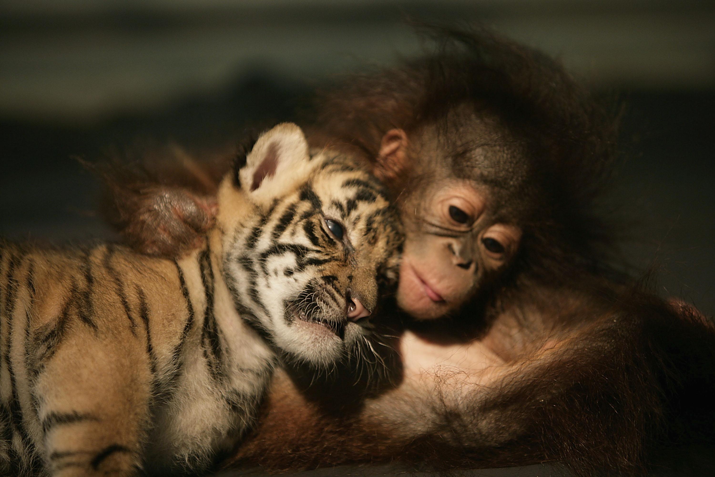 66395 download wallpaper Animals, Tiger, Friends, Tiger Cub, Orangutan screensavers and pictures for free