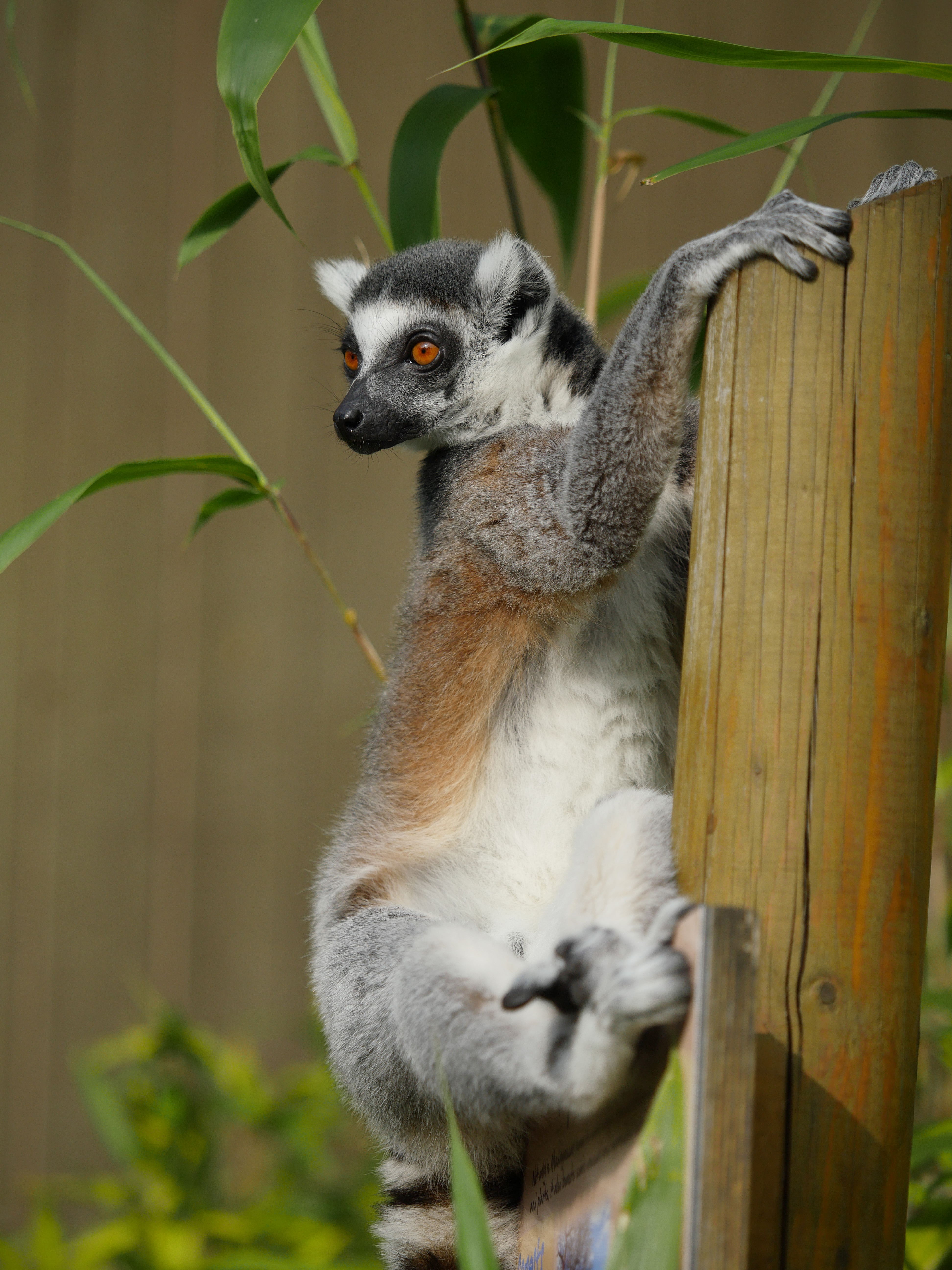 63646 download wallpaper Animals, Lemur, Nice, Sweetheart, Animal, Bamboo screensavers and pictures for free