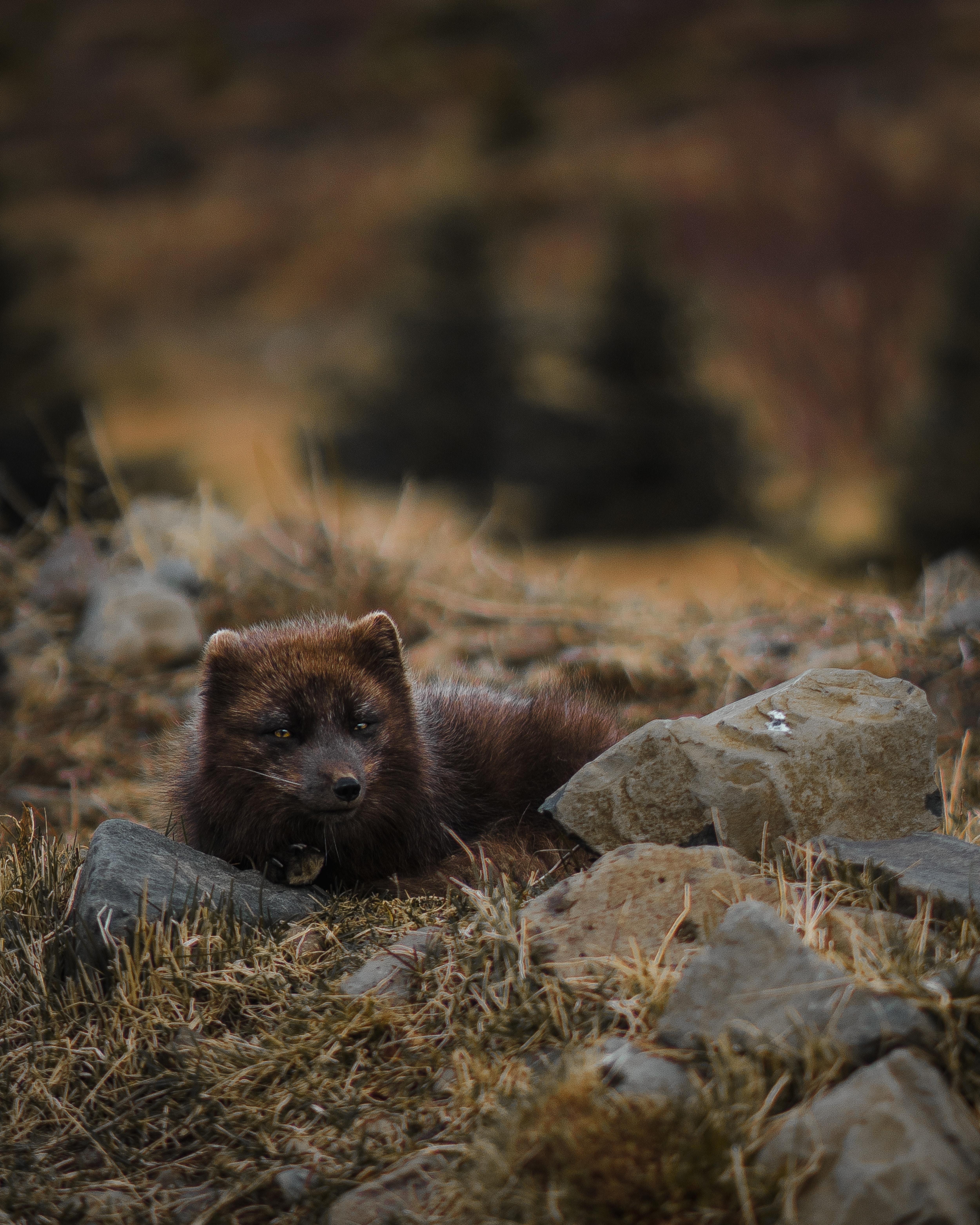 121601 скачать обои Животные, Песец, Арктическая Лиса, Полярная Лисица, Лежит, Дикая Природа - заставки и картинки бесплатно