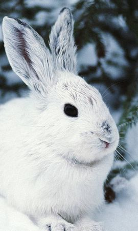 114 download wallpaper Animals, Winter, Rabbits screensavers and pictures for free