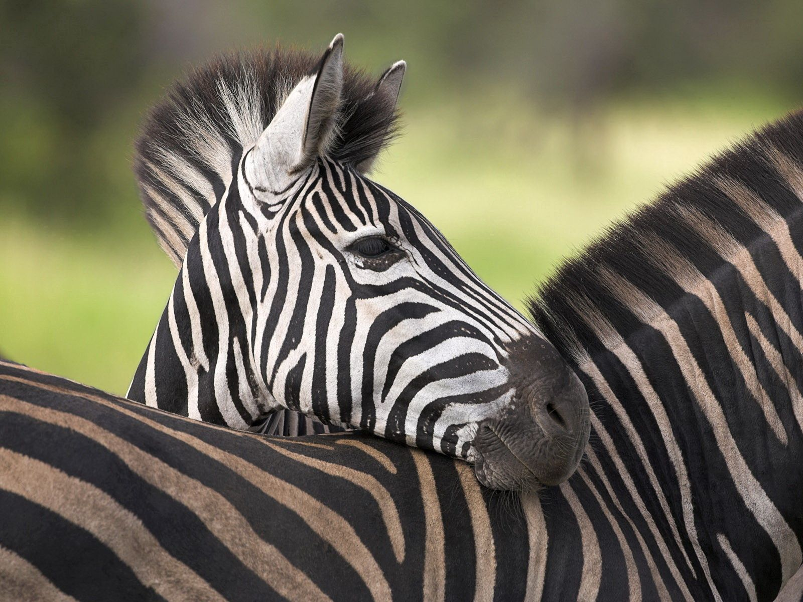 54175 download wallpaper Animals, Zebra, Color, Striped, Young, Joey screensavers and pictures for free