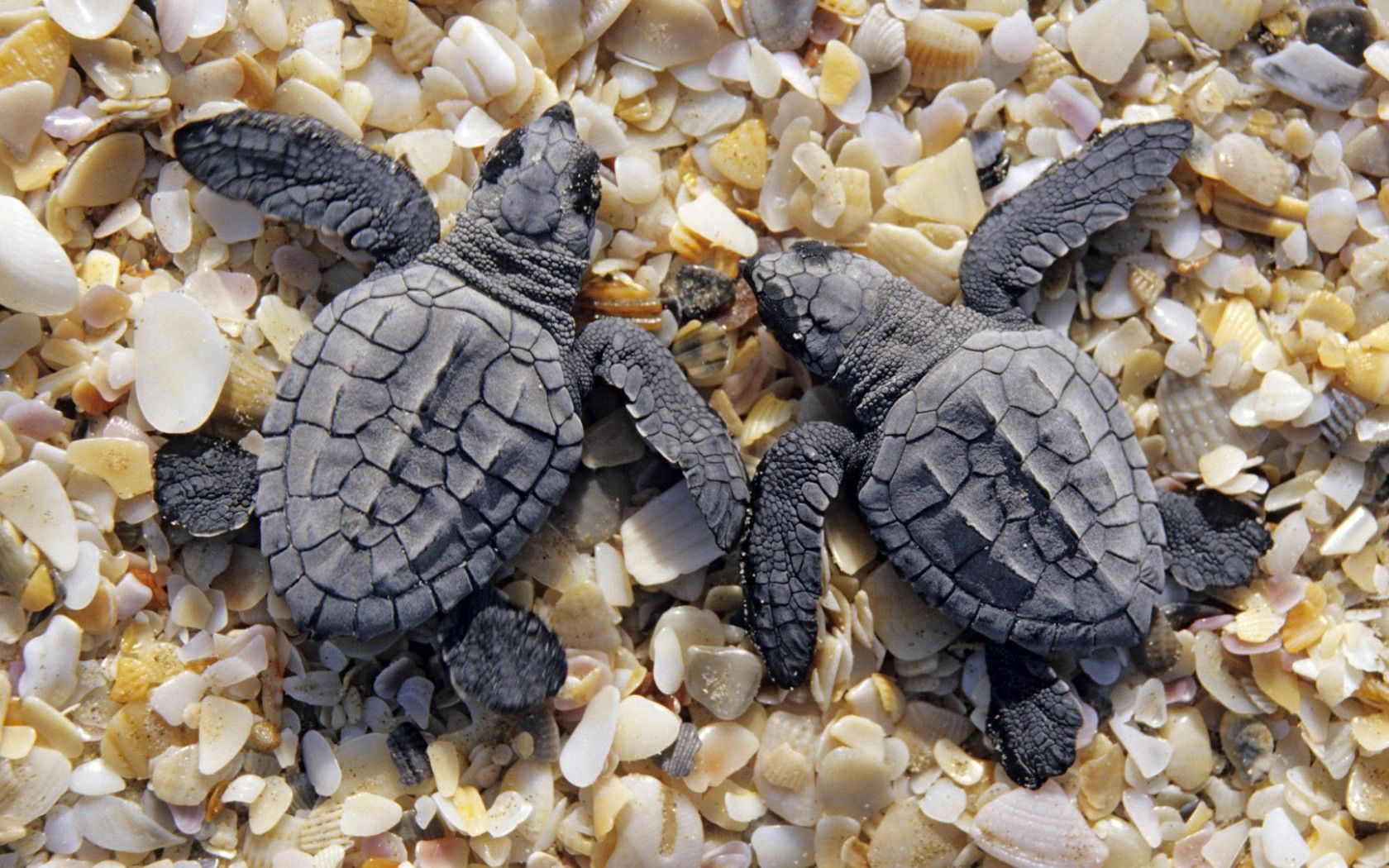 98903 download wallpaper Animals, Turtles, Shells, Shore, Bank, Small, Two screensavers and pictures for free