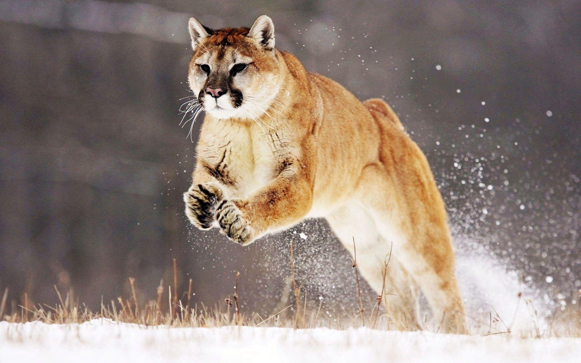 144920 скачать обои Животные, Пумы, Снег, Прыжок, Зима - заставки и картинки бесплатно