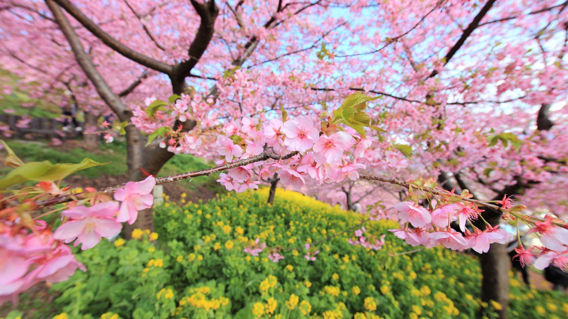 113929 скачать обои Цветение, Природа, Цветы, Дерево, Весна - заставки и картинки бесплатно