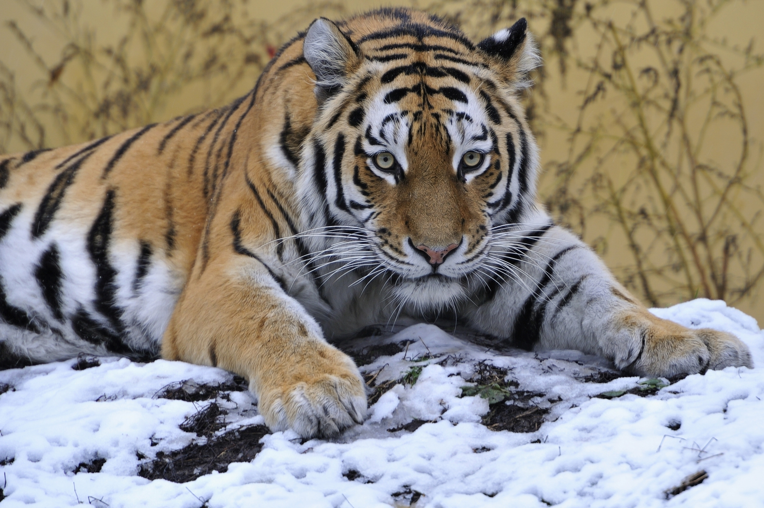 123745 download wallpaper Animals, Tiger, Snow, To Lie Down, Lie, Paw, Sight, Opinion, Predator screensavers and pictures for free