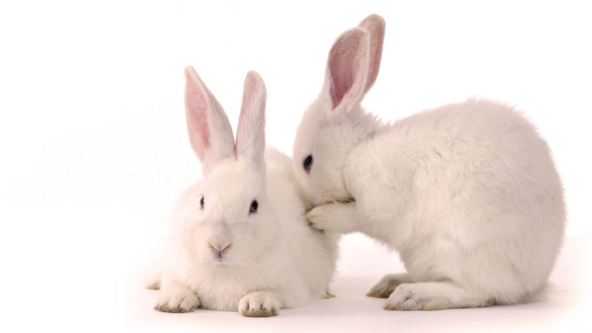 40489 download wallpaper Animals, Rabbits screensavers and pictures for free