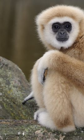 154966 download wallpaper Animals, Monkey, Sit, Sight, Opinion, Sadness, Sorrow screensavers and pictures for free