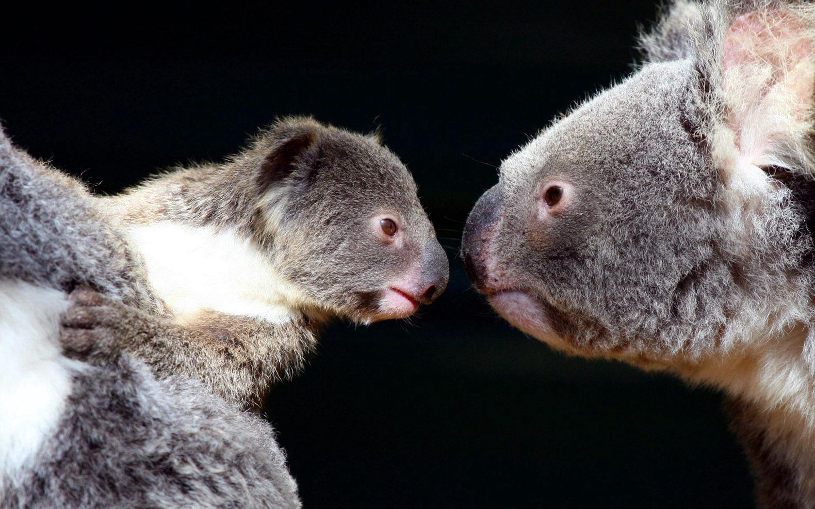70861 download wallpaper Animals, Koalas, Couple, Pair, Tenderness screensavers and pictures for free