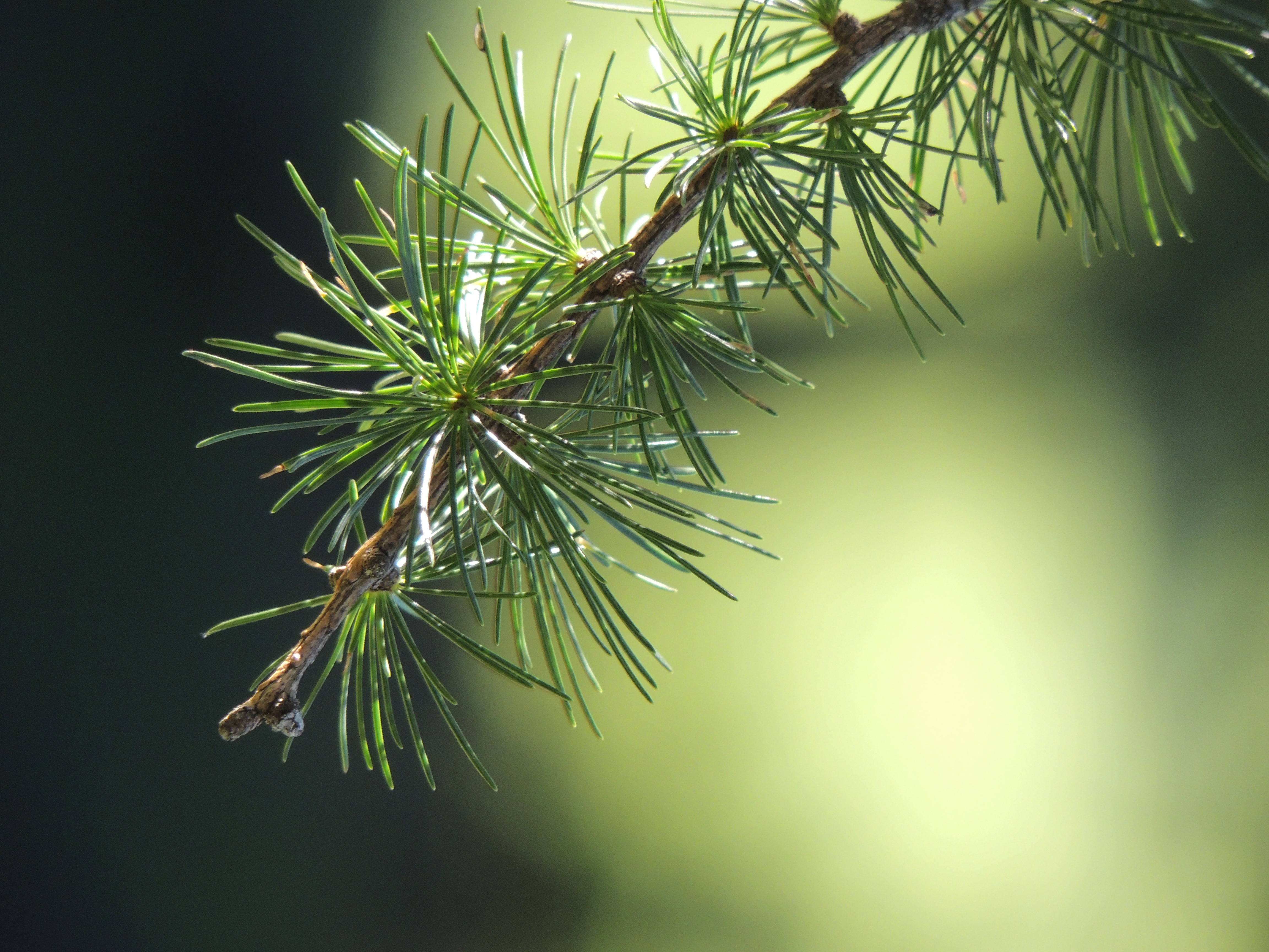 100775 Screensavers and Wallpapers Spruce for phone. Download Branch, Macro, Spruce, Fir, Thorns, Prickles pictures for free