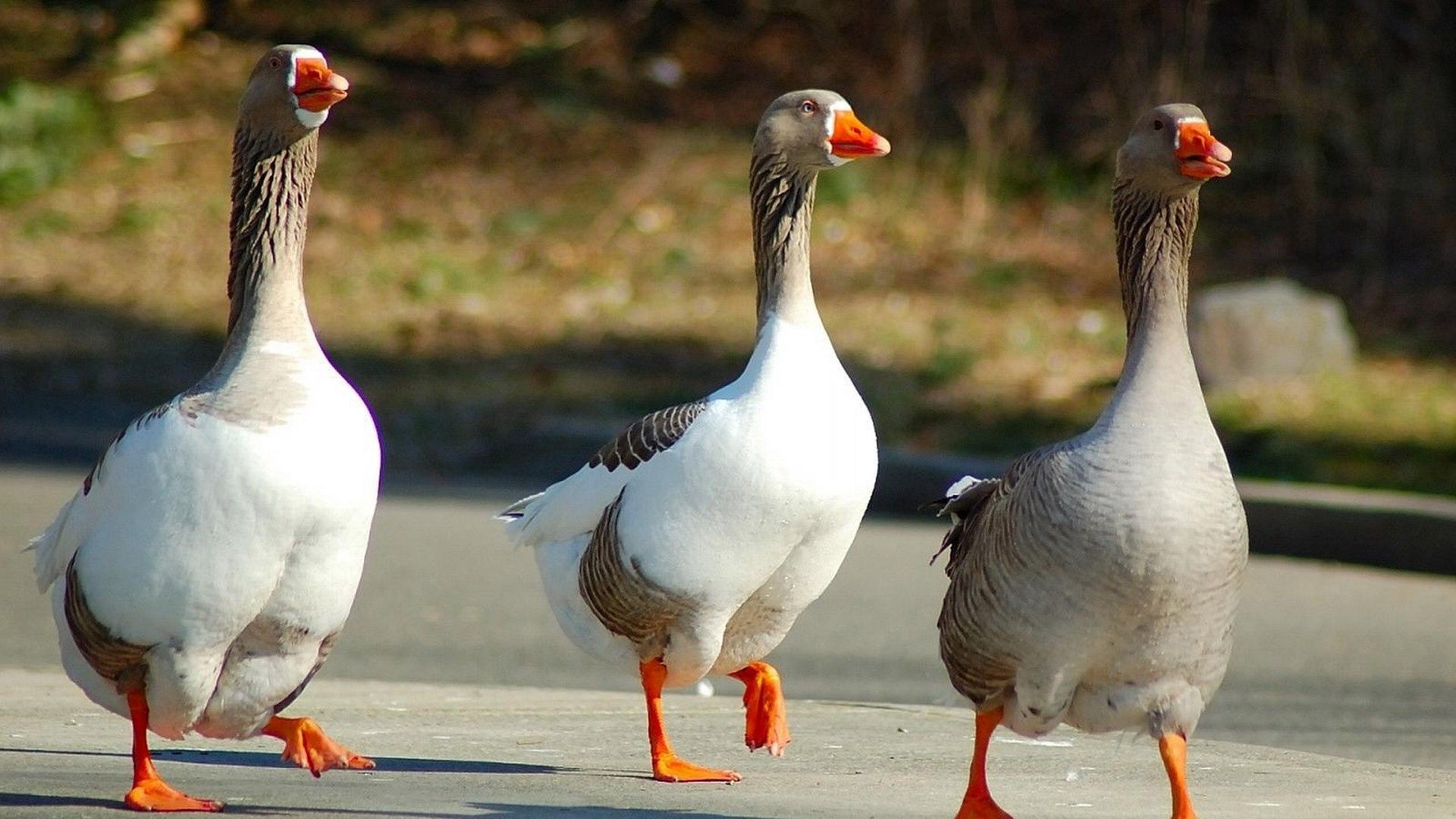 76047 download wallpaper Animals, Geese, Stroll, Three, Wings, Birds screensavers and pictures for free
