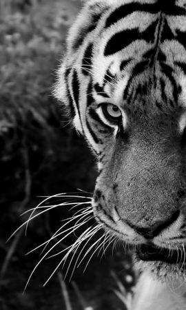 95539 免費下載壁紙 动物, 老虎, 虎, 枪口, 莫尔达, 视线, 查看, 捕食者, 体重, 星期四 屏保和圖片