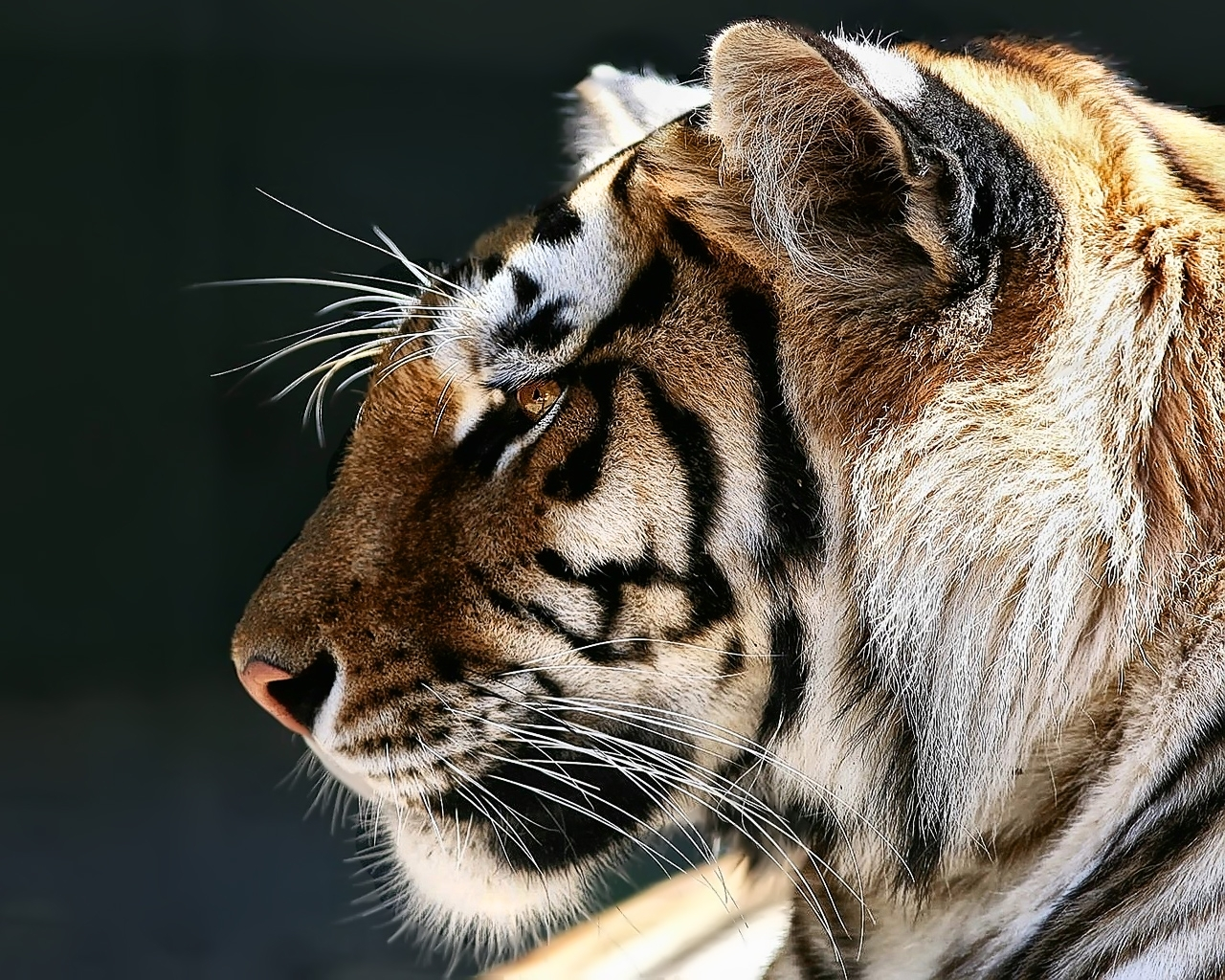10822 download wallpaper Animals, Tigers screensavers and pictures for free