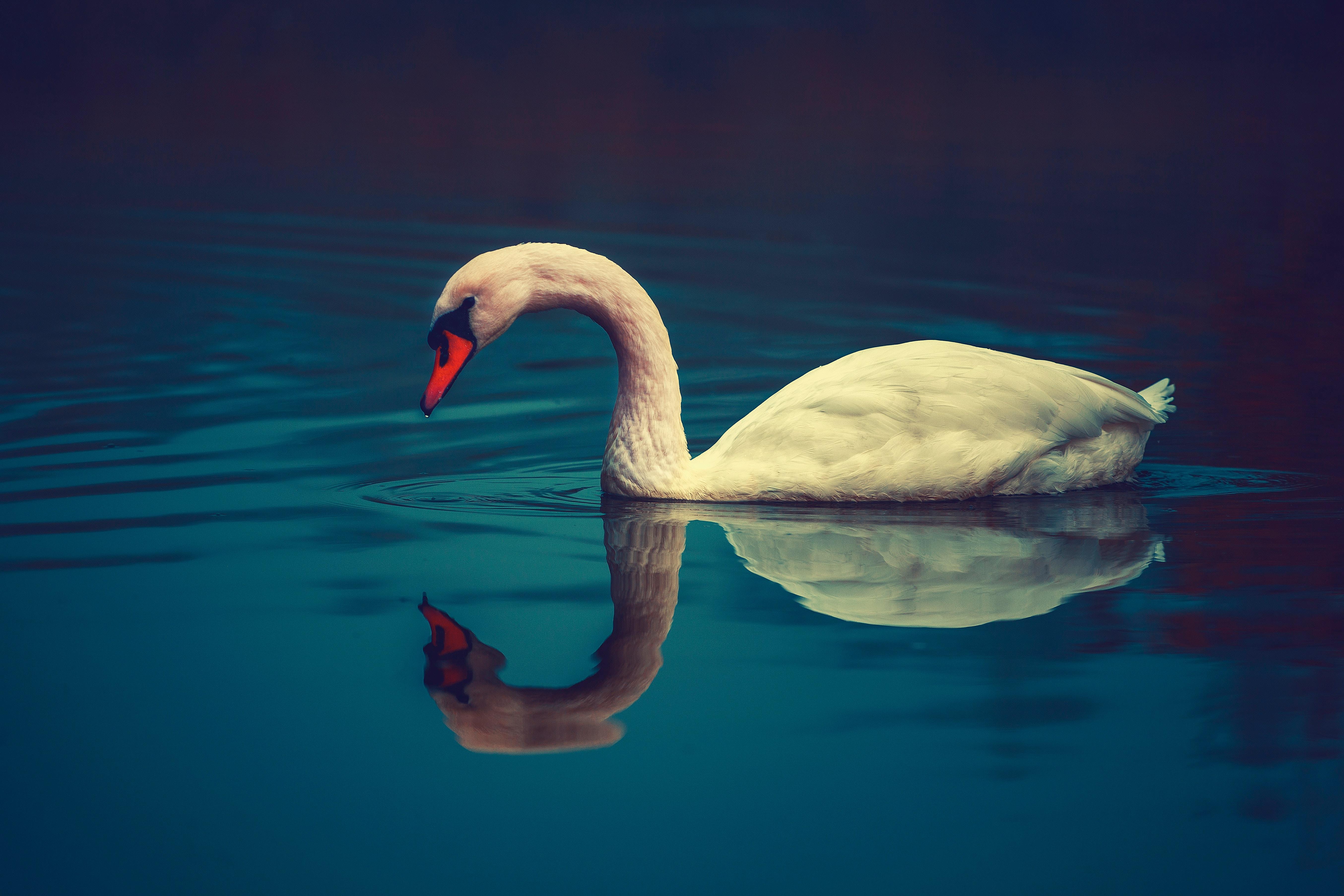 58266 Hintergrundbild herunterladen Tiere, Wasser, Schwimmen, Vogel, Schnabel, Schwan - Bildschirmschoner und Bilder kostenlos