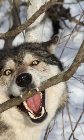140804 download wallpaper Animals, Wolf, Branch, Grin, Dog, Predator screensavers and pictures for free