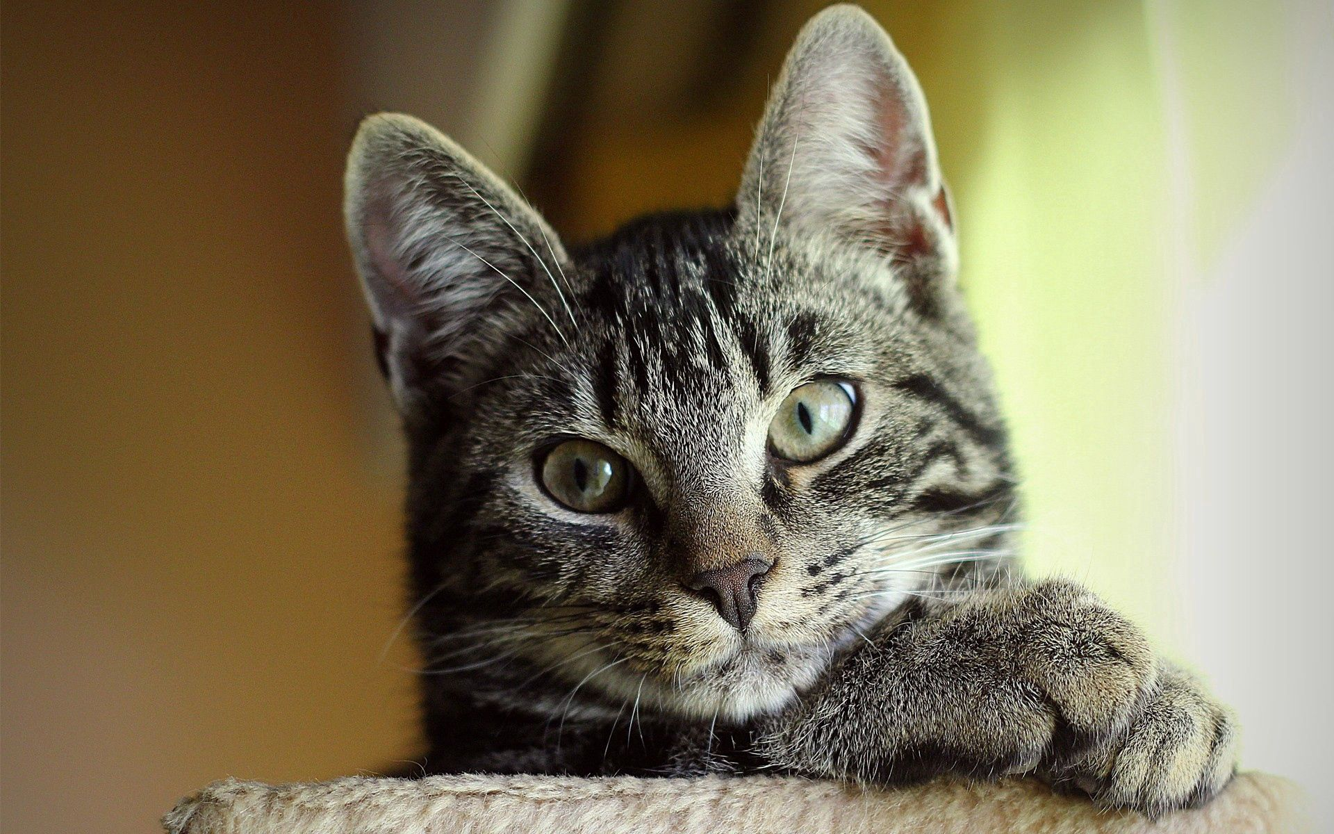 110916 download wallpaper Animals, Cat, Muzzle, Striped, Sight, Opinion, Nice, Sweetheart screensavers and pictures for free