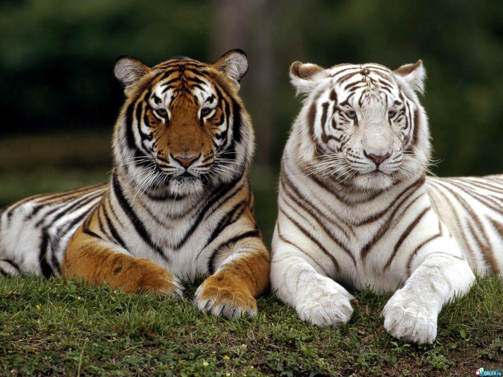 329 скачать обои Животные, Тигры - заставки и картинки бесплатно
