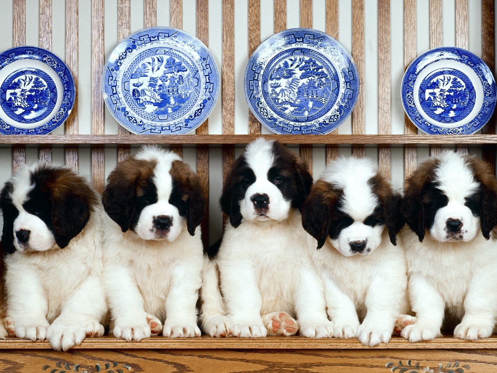 92844 download wallpaper Animals, Tablewares, Puppies, St. Bernard, Plates, Cymbals, St. Bernards, Shelf screensavers and pictures for free