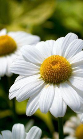 43299 télécharger le fond d'écran Plantes, Fleurs, Camomille - économiseurs d'écran et images gratuitement