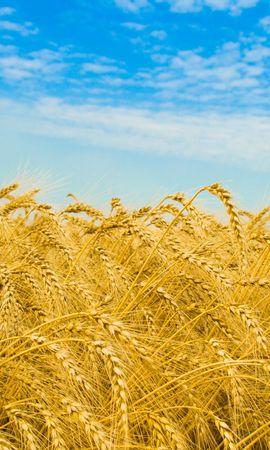 30094 скачать обои Пейзаж, Поля, Пшеница - заставки и картинки бесплатно